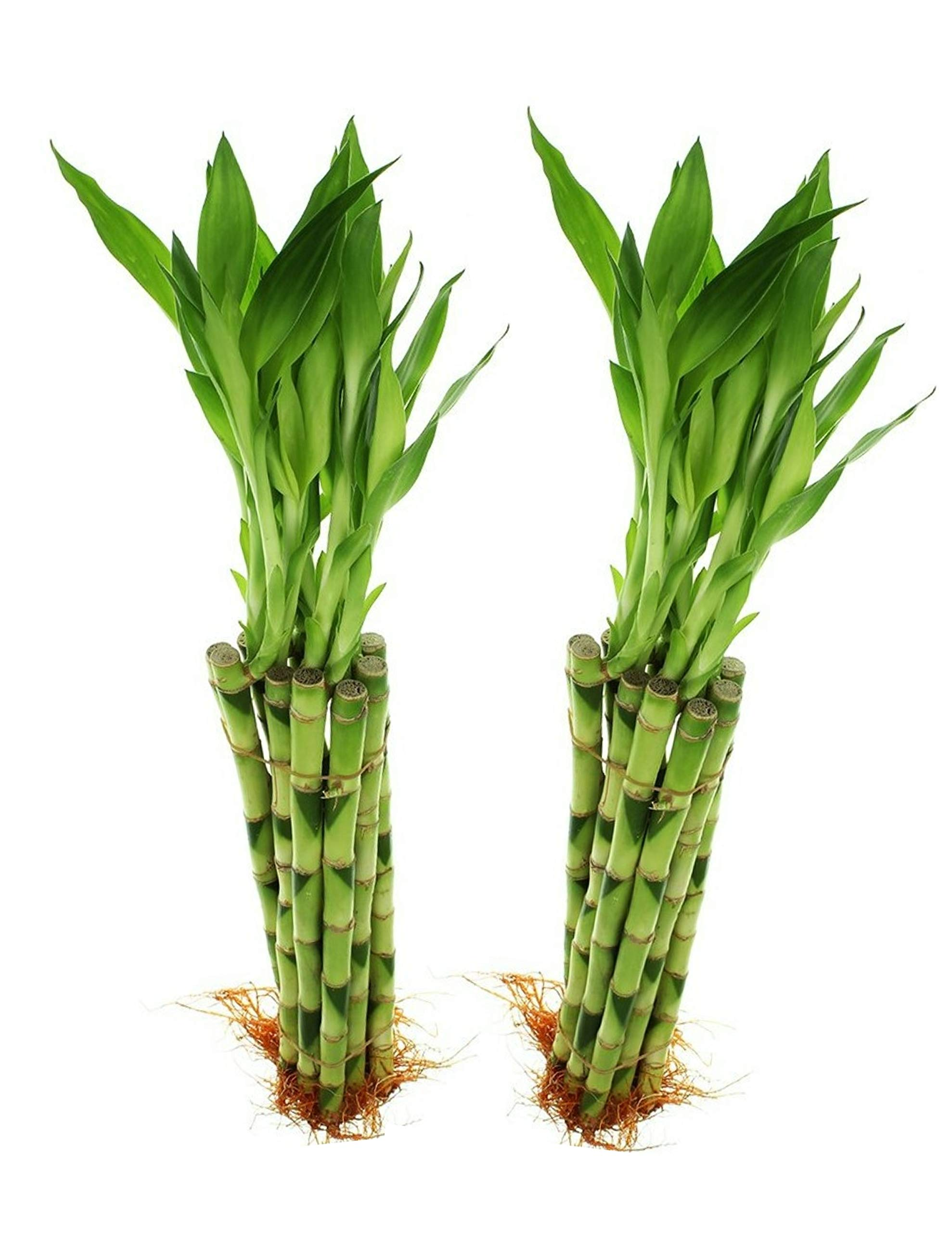 Uni Collections 10 Stalks - 12 Inch Straight Lucky Bamboo (2 Pack) by Uni Collections