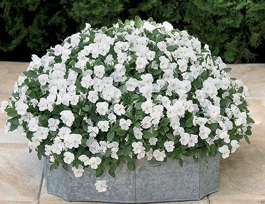 50+Seeds Viola Cornuta Viola White Perfection Flower Seeds