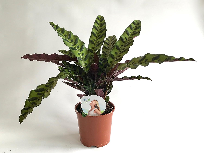 AIRY Maranta - Calathea lancifolia - Purificador de aire natural ...