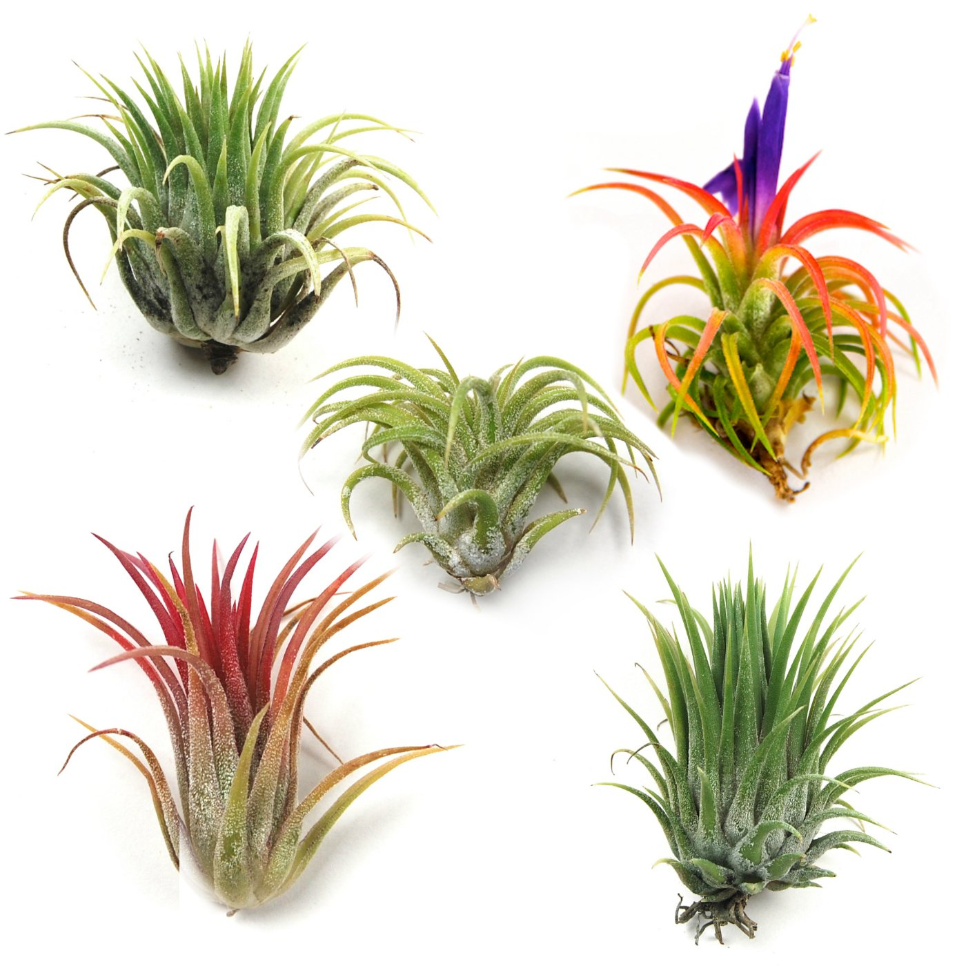 Air Plants - Ionantha Mexican - Set of 5 Air Plants - Colors Vary Throughout The Year - Fast Shipping - Tillandsia House Plants - Includes PDF E-Book By Jody James by The Air Plant Shop