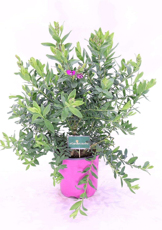 Pianta di POLIGALA MIRTYFOLIA fiore viola AD ALBERELLO IN VASO 20 CM FOTO REALE AMDGarden
