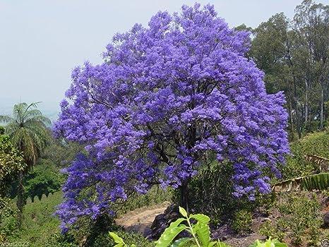 Amazon Com 100 Jacaranda Tree Seeds Jacaranda Mimosifolia