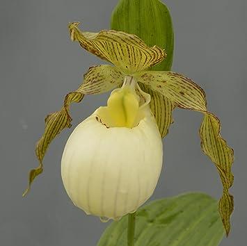 Cypripedium Gabriela 4 5 Triebe Gartenorchidee Winterhart