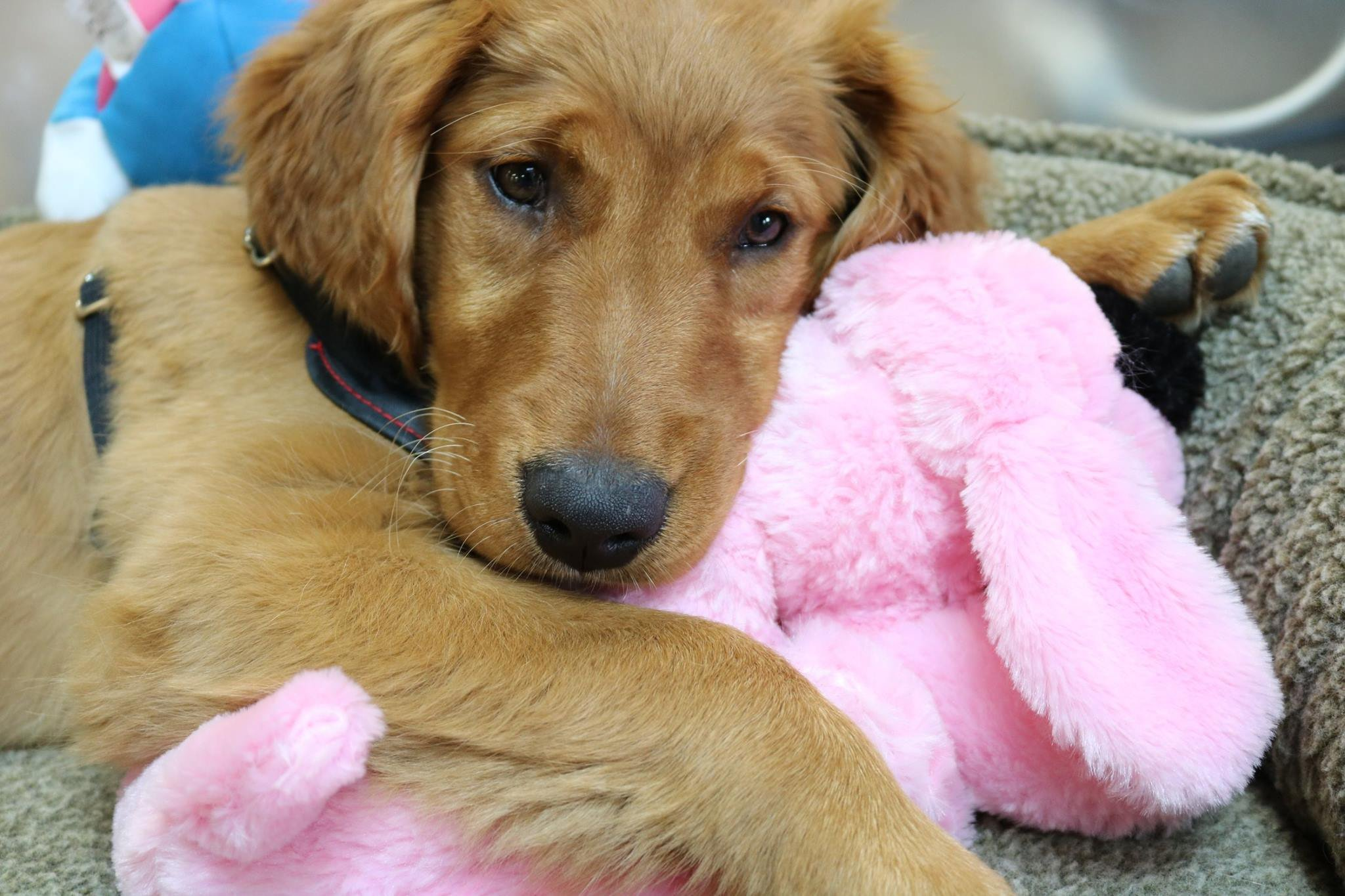 Snuggle Puppy - New Puppy Starter Kit (Pink)