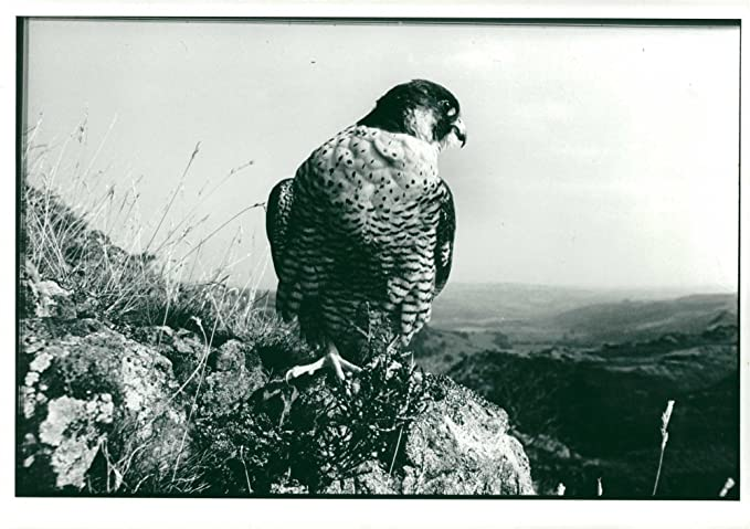 1fba4bc522c89 Amazon.com  Vintage photo of Bird  Peregrine Falcon  Entertainment ...