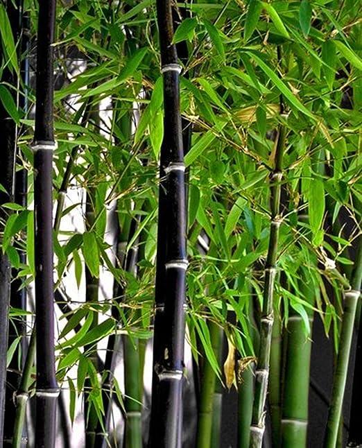 Phyllostachys nigra - bambú negro - 100 semillas: Amazon.es: Jardín