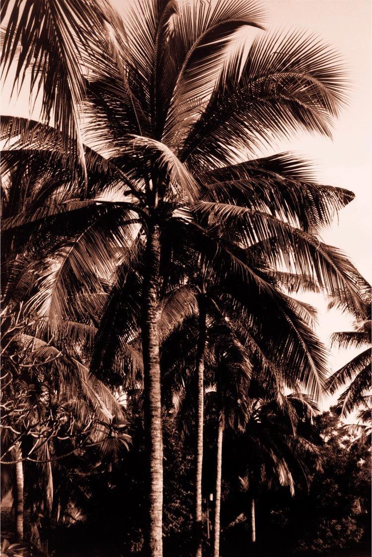 Sepia Palm 2 , 36x24in. (paper)