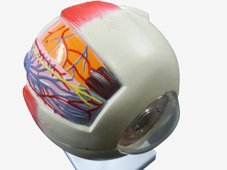 売上実績NO.1 人体模型 6倍拡大模型 眼球 6倍拡大模型 B00NATDIKW 眼球 B00NATDIKW, まーぶるPC:e78d2d5b --- a0267596.xsph.ru