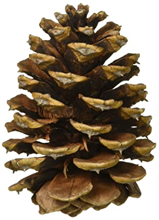 amazon com ponderosa pine cones 8 pkg 2 pack arts crafts sewing