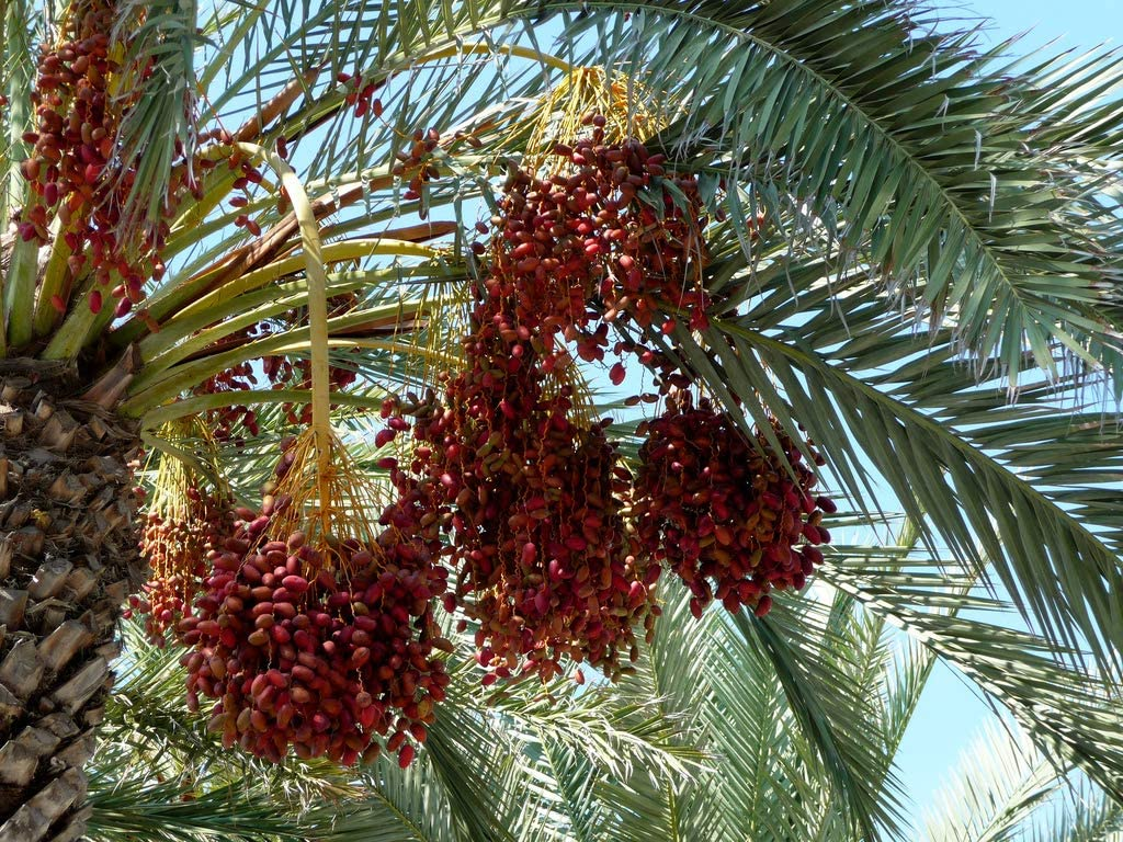 1 Live Plant of Medjool Date Palm Tree from Very Sweet Nutritious Dates Palm Trees
