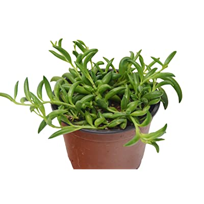 "'String of Bananas' Succulent/4"" Pot/Live Home and Garden Plant/Free Care Guide : Garden & Outdoor"