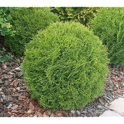 Little Giant Dwarf Globe Arborvitae ( Thuja ) - Live Plant - Trade Gallon Pot: Garden & Outdoor