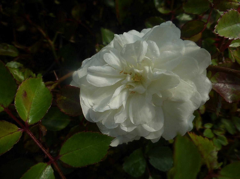 Bodendeckerrose Rose Sea Foam weiß 60 St.