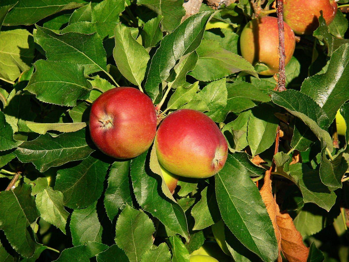 owzoneplant 1 Each 1 Gallon Trade Pot Gala Apple Tree Semi-Dwarf - Healthy Established