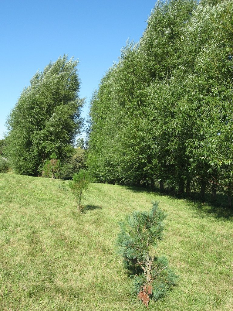 8 Big Aussie Privacy Hybrid Willow Trees - Approx. 2 Feet Tall and 1-2 inches Thick, Ready to Plant - Fast Growing Privacy Shade Trees.
