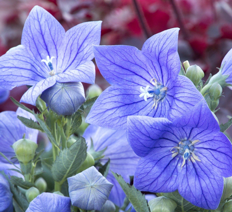 Amazon 25 Seeds Of Blue Balloon Flower Garden Outdoor