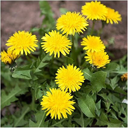amazon com seed needs bulk package of 10 000 seeds dandelion