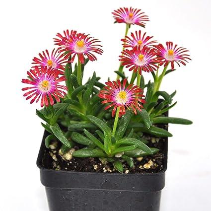 Amazon.com: Delospermum HotCakes de jardín de hadas en ...