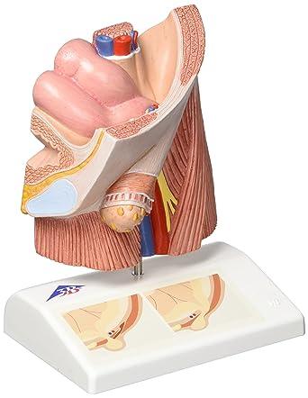 3B Scientific H13 Modelo de anatomía humana Modelo de Hernia ...