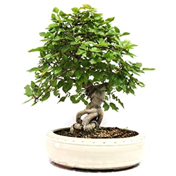 Carpe coreano, Carpinus coreana, bonsái para exterior, 20 años, altura 29 cm