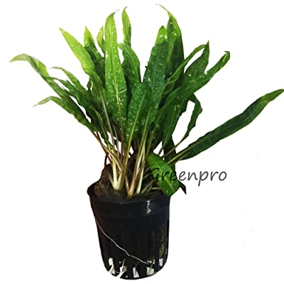 Cryptocoryne Balansae Potted Live Aquarium Plants