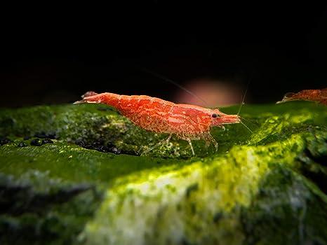 ea131d0cd3 Amazon.com : Aquatic Arts 20 Live Sakura Red Cherry Shrimp (Neocaridina  davidi) - Breeding Age Young Adults at 1/2 to 1 Inch Long : Live Fish And  Aquatic ...