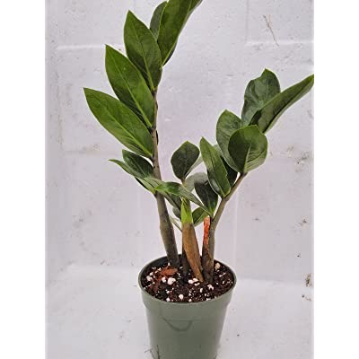 Plant Zamioculcas Zamiifolia Live 4''Pot Kenya Green Leaves Indoor Bonsai Home: Garden & Outdoor
