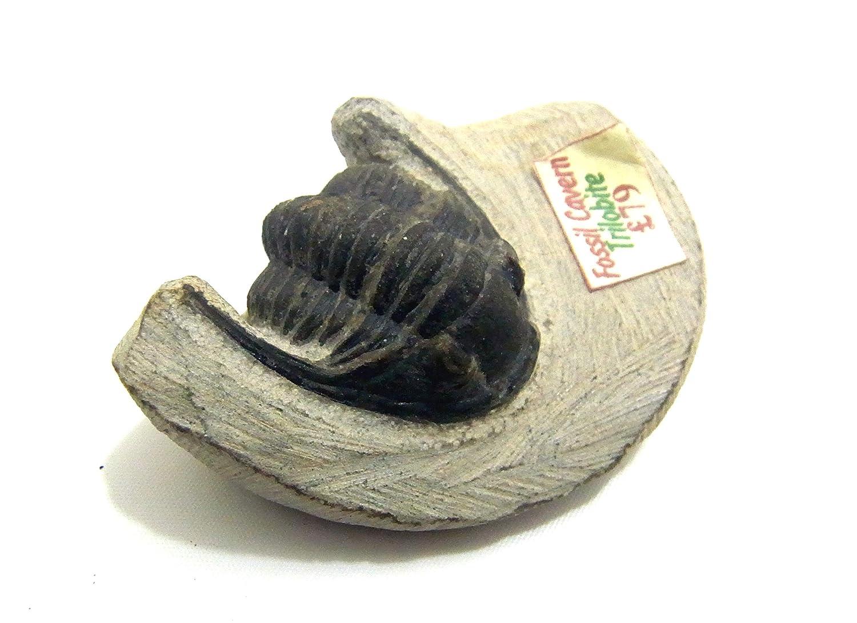 Rare PROETID Trilobite - PHAETONELLUS PLANICAUDA Fossil Morocco COLLECTABLE Specimen st178