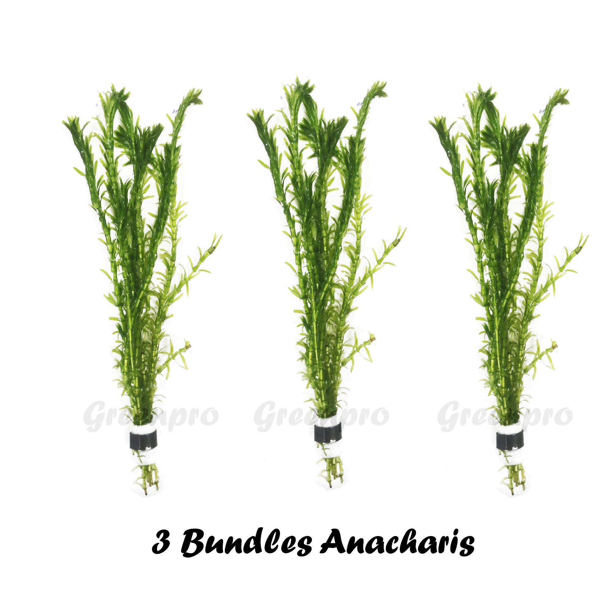 Greenpro 3 Bundles Anacharis Egeria Densa Elodea Live Aquarium Plants Freshwater Pond Aquatic Water Plant Decorations by Greenpro