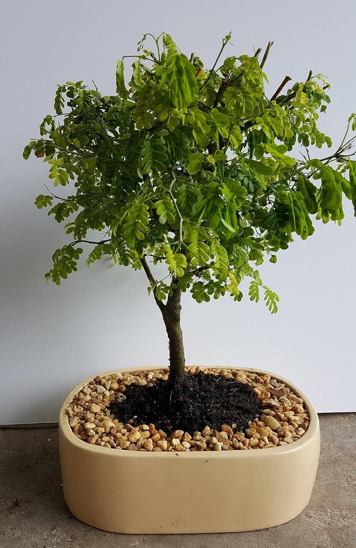 Amazon Com Indoorbonsaiandexotics Brazilian Raintree Bonsai Indoors Garden Outdoor