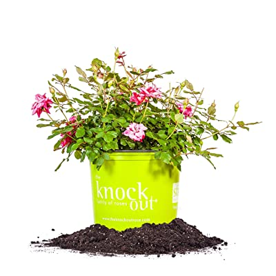 Perfect Plants Double Pink Knock Out Rose Live Plant, 3 Gallon, Includes Care Guide: Garden & Outdoor