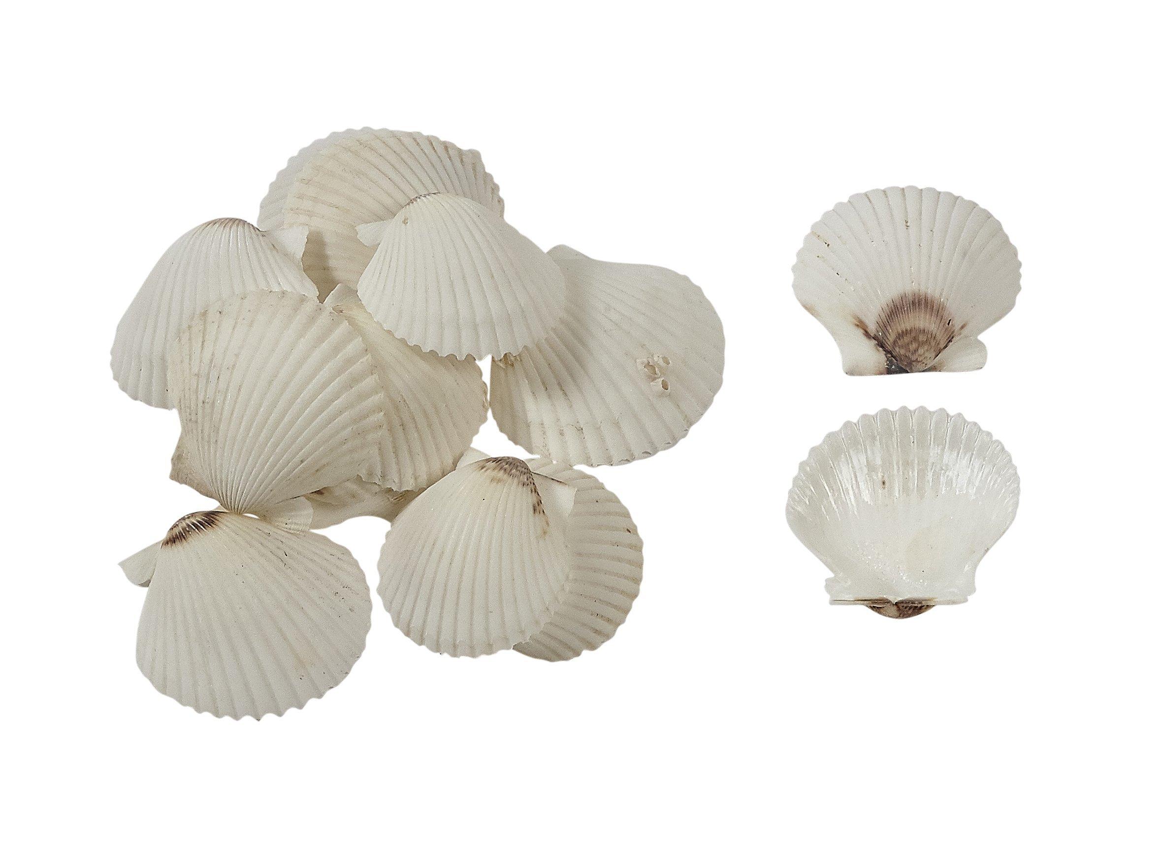 40 Florida White Scallop Shell 1.75-2.25 (Set of 40) Bulk Seashells, Bag of Sea Shells
