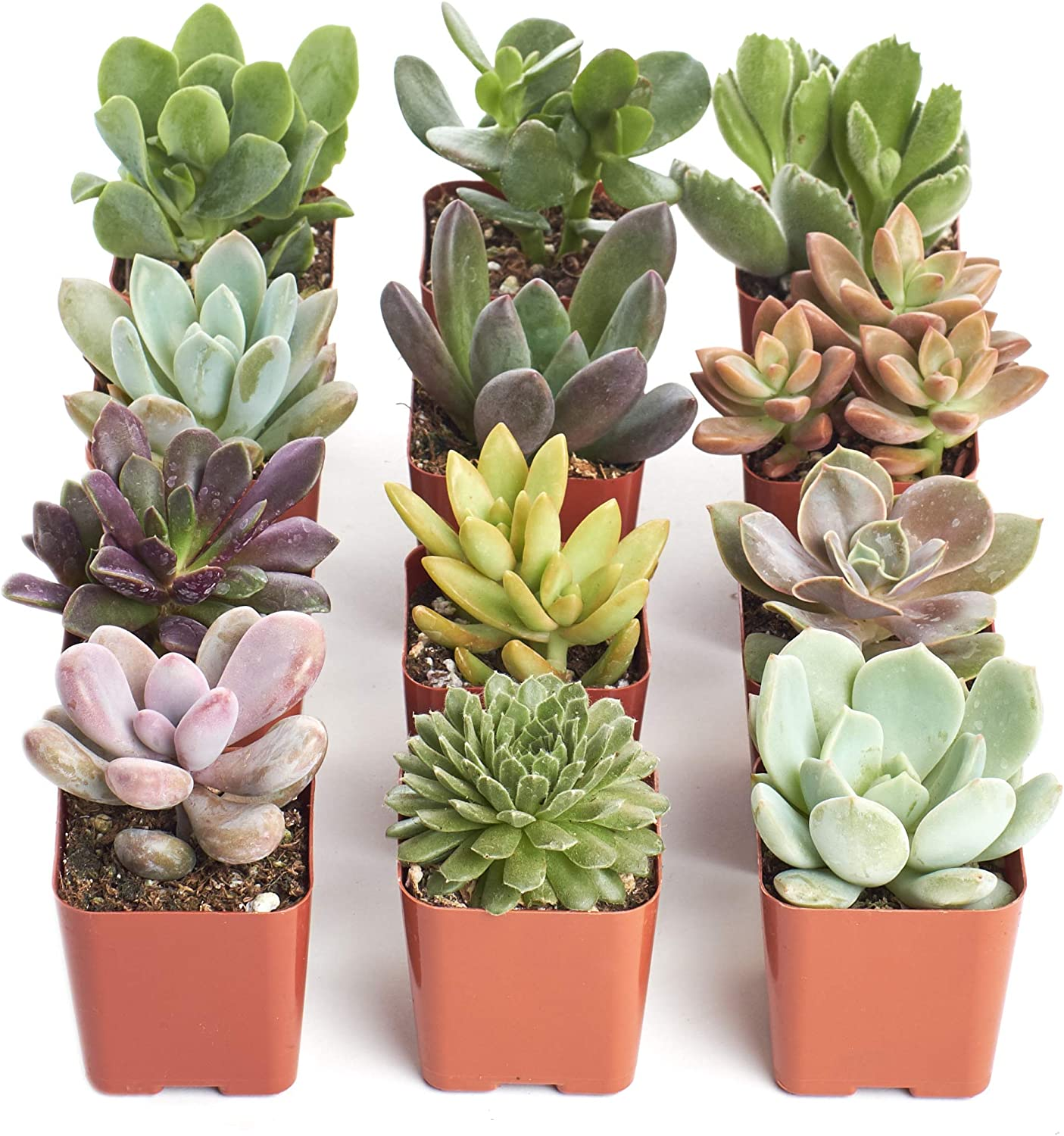 Shop Succulents | Unique Collection | Assortment of Hand Selected, Fully Rooted Live Indoor Succulent Plants, 12-Pack