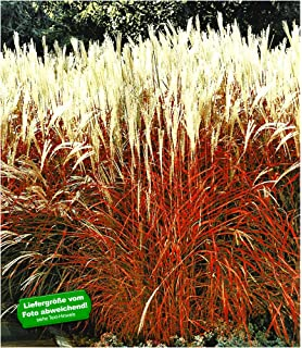 BALDUR Garten Ziergras Indian Summer Chinagras Chinaschilf 1 Pflanze Miscanthus Sinensis