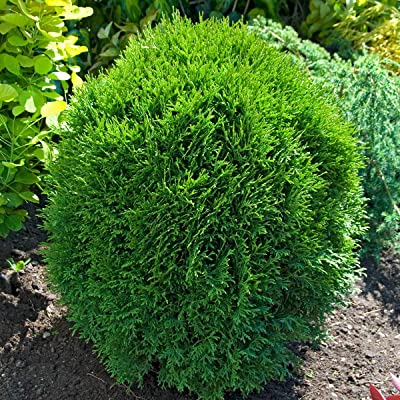 Little Giant Globe Arborvitae (Thuja) Starter Hedge Kit, Live Evergreen Bareroot Plants, 12 to 18 inches Tall (10-Pack) - Just $9.00 per Plant Delivered! : Garden & Outdoor
