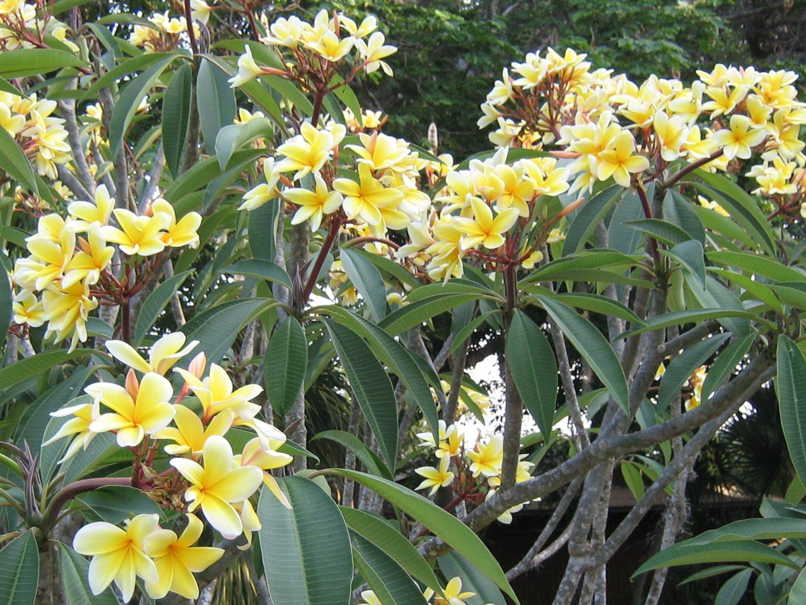 Yellow Hawaiian Plumeria Cutting - Apx. 9 - 12 inches long #C1 by Discount Hawaiian Gifts