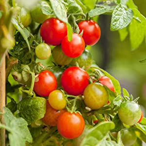 Tomato Seeds - Rainbow Cherry Mix - 250 mg Packet ~65 Seeds - Solanum lycopersicum - Farm & Garden Vegetable Seeds - Non-GMO, Heirloom, Open Pollinated, Annual