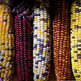 Zuckermais - Ziemais - Indianermais - Fiesta - 25 Samen