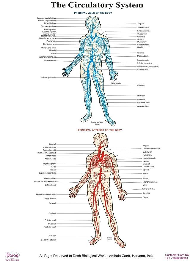 Niedlich Das Kreislaufsystemdiagramm Galerie - Anatomie und ...
