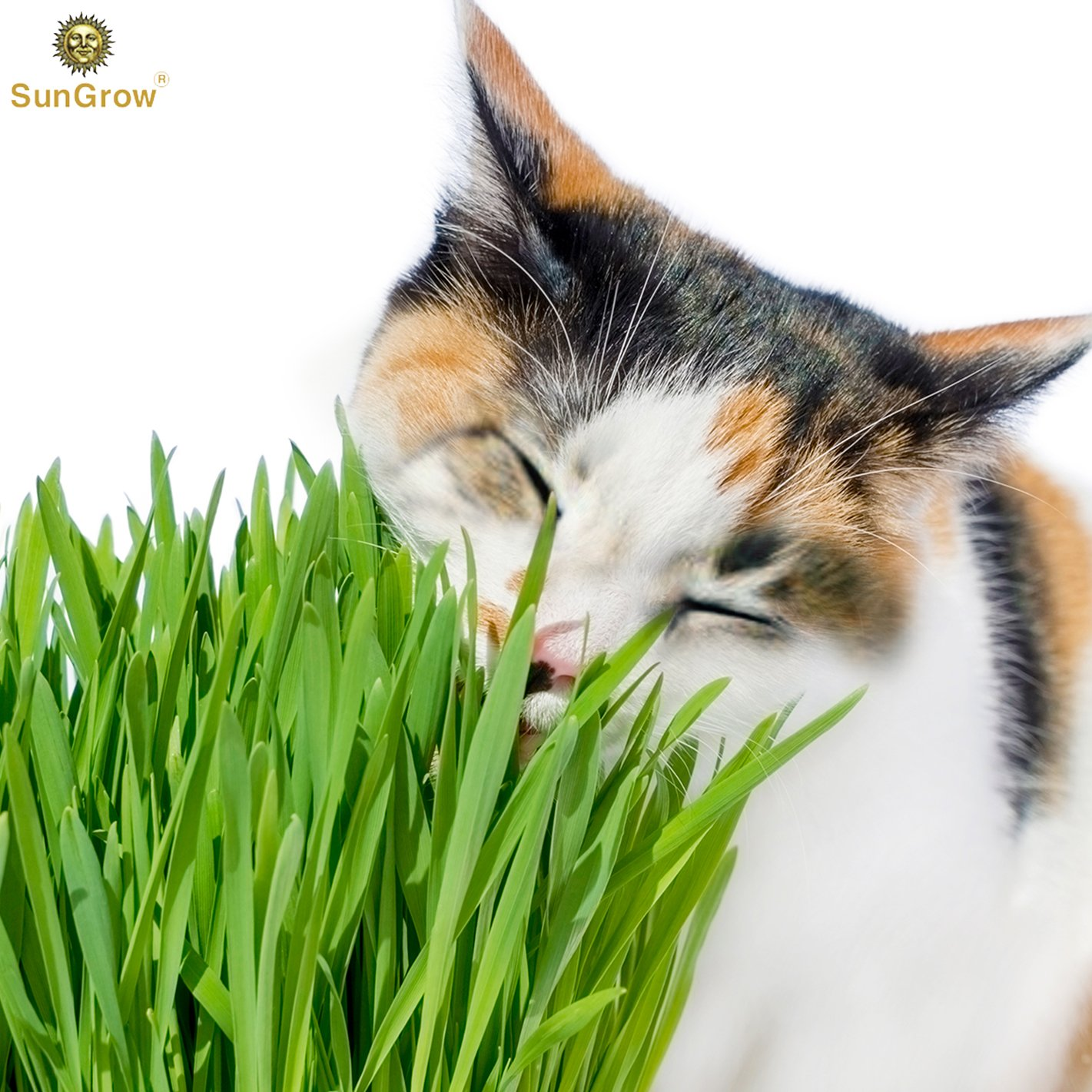 Wheatgrass Seeds for Cats by SunGrow - Aids faster digestion - Prevents furballs - Rich in essential amino acids - Fast, Thick and Easy growth Petgrass - Organic Non GMO seeds - 100 seeds per pack