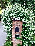 Perfect Plants Confederate Jasmine Live Plant, 1