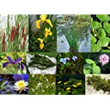 Lincolnshire Marginal Pond Plants medium pond Pack starter - Fresh picked with Lilly and compost