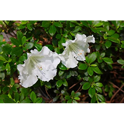 (1 Gallon) 'Delaware Valley White' Azalea, Clusters of Elegant Single White Blooms, : Garden & Outdoor