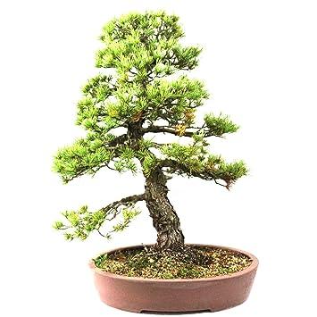 Pino blanco japonés, Pinus penthphylla, bonsái para exterior, 50 años, altura 60
