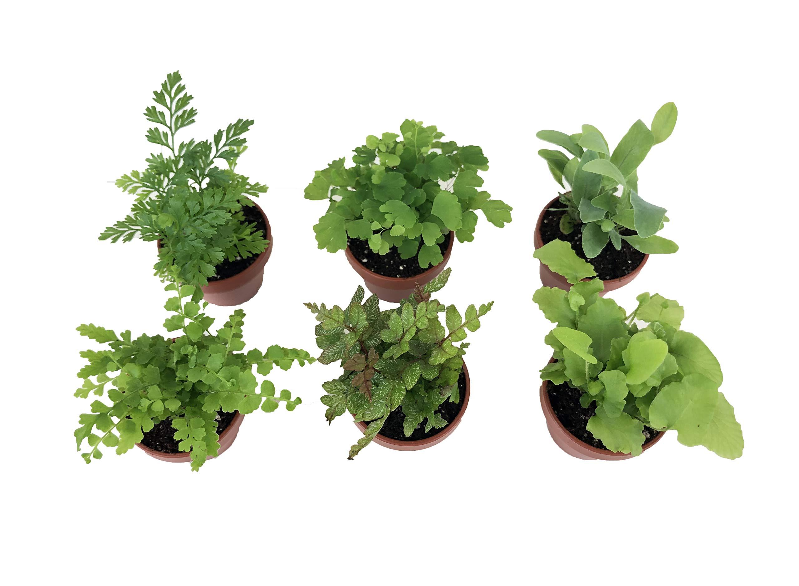 Micro Ferns (6 Plants) (1.5'' Pots) Terrarium Plants Fairy Garden Plants