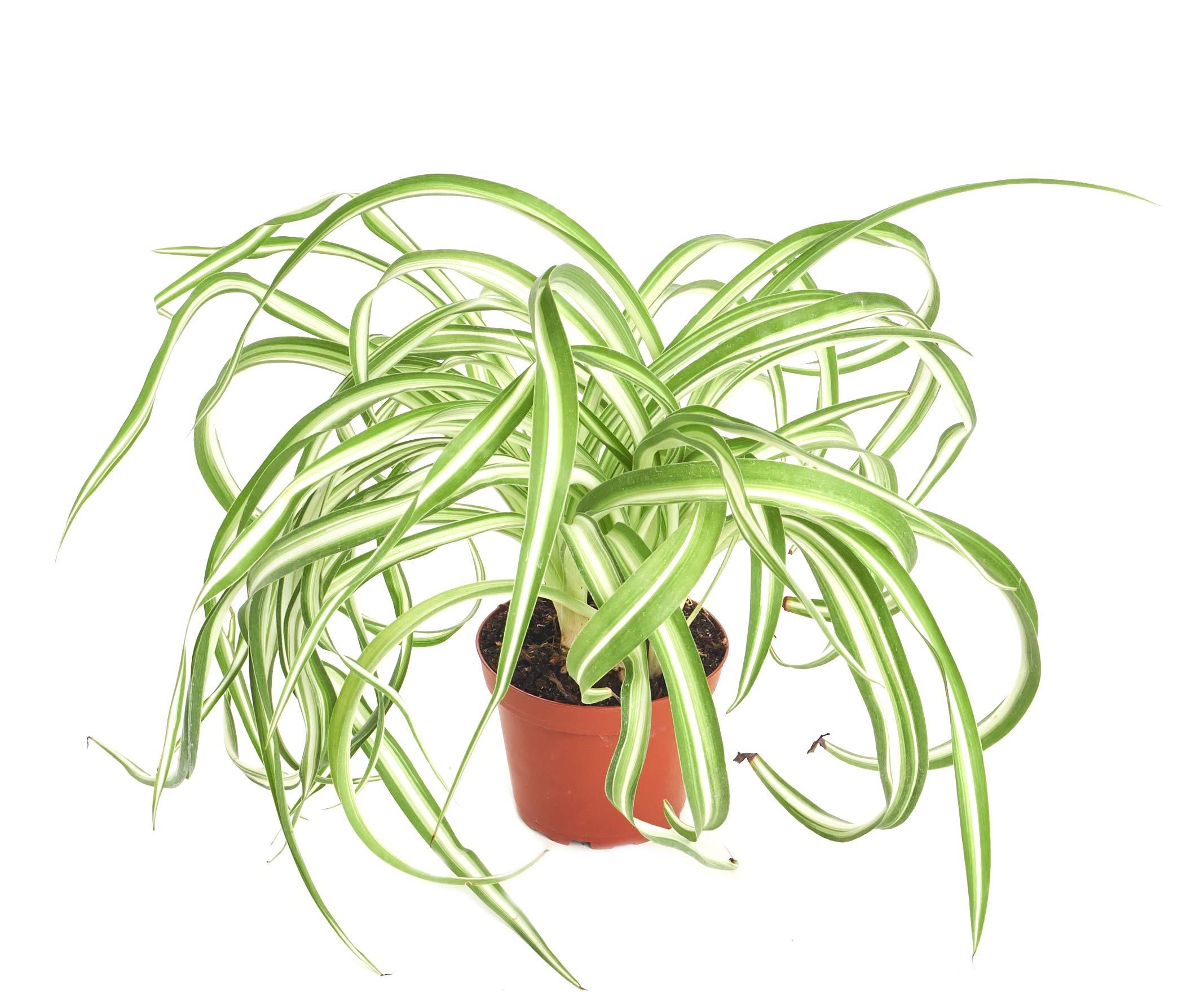 Shop Succulents 4'' Chlorophytum Bonnie Easy Care, Live Indoor House Plant, 4'' Grower Pot, Curly Spider by Shop Succulents