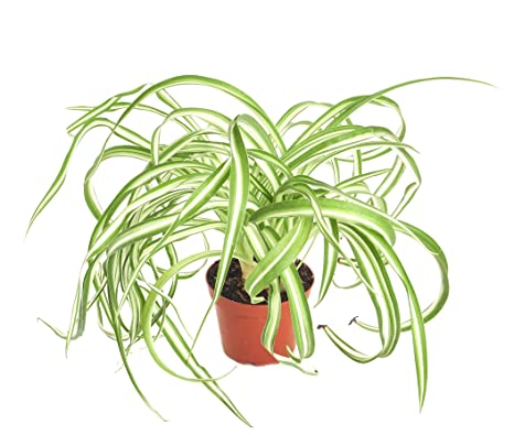 Amazon.com: Shop Succulents   'Bonnie' Curly Spider Plant, Naturally on spider plant care tips, spider plant light, spider eating food, tall spider plant, spider plant on a stick, spider infestation in home, spider plants outside, spider plant poisonous, spider plant varieties, spider plant roots, houseplants plant, rare spider plant, spider grass plant, spider plant care indoor, snake plant, spider plant toxic to dogs, spider flowering plant, spider plant in the wild, aloe vera plant,