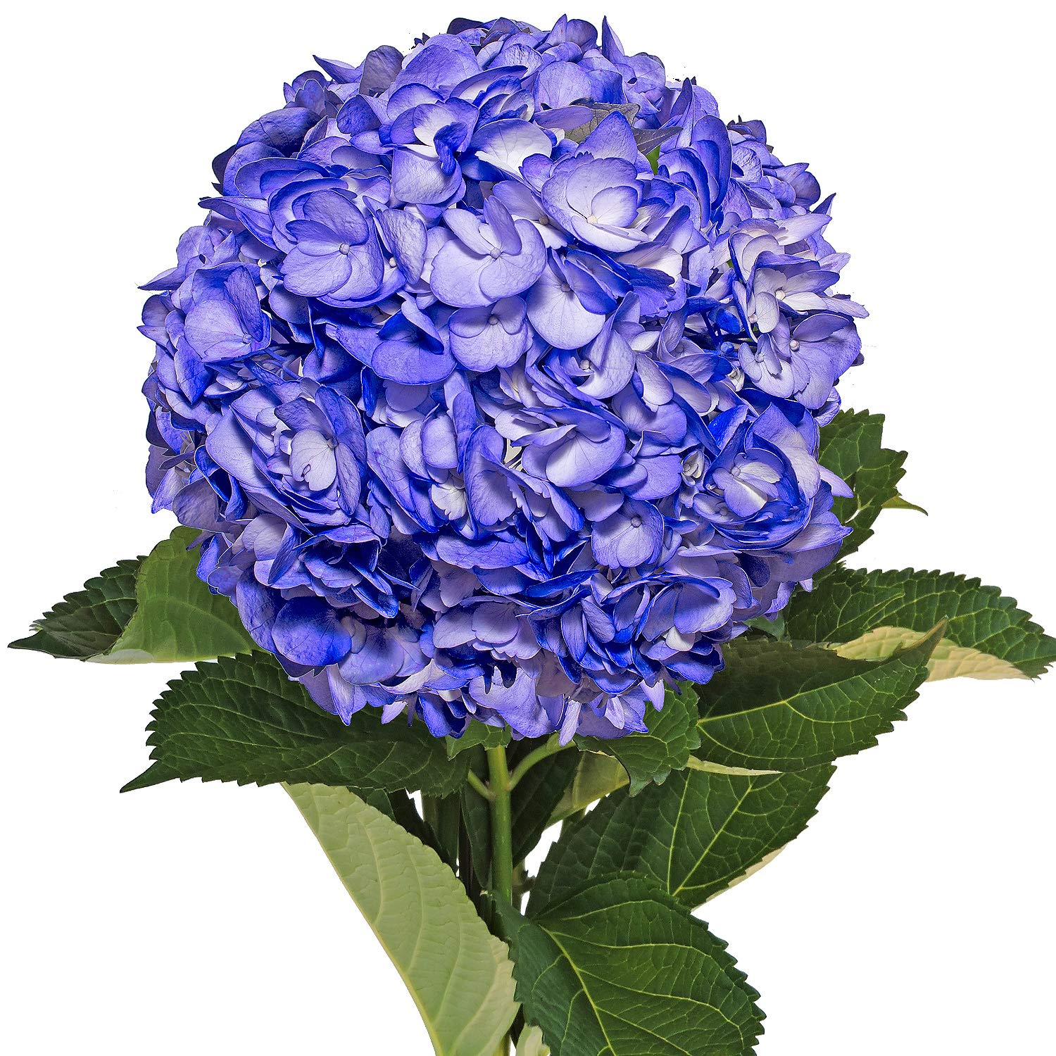 Farm Fresh Natural Painted Blue Berry Hydrangea - Pack 26
