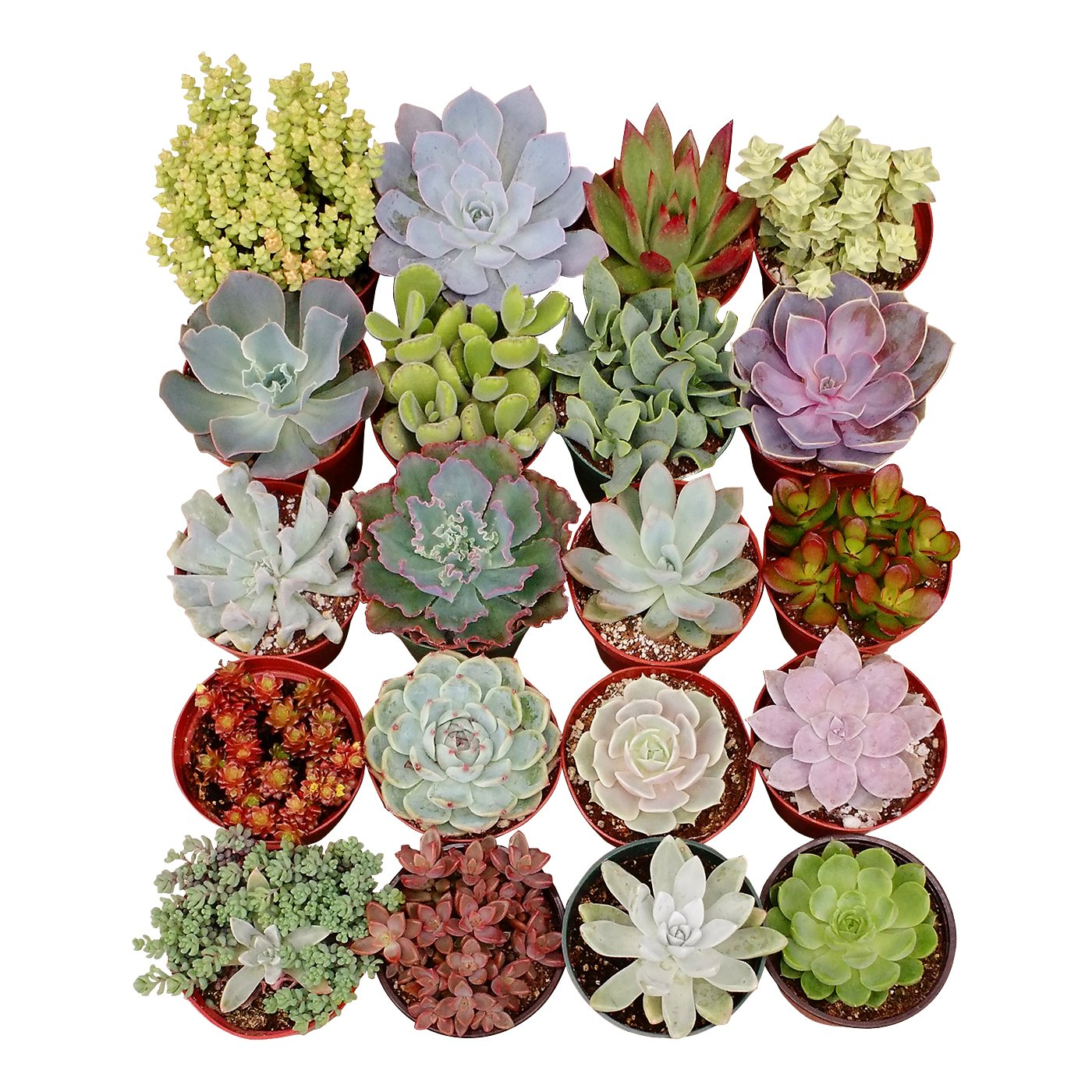 Shop Succulents Assorted Succulent (Collection of 40), 4'' by Shop Succulents