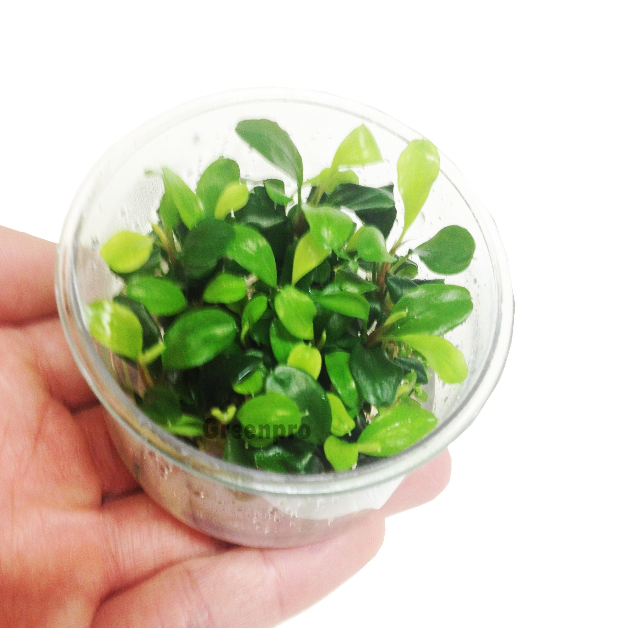 Bucephalandra Green Wave Leaf Live Aquatic Plant in Tissue Cup for Aquarium Freshwater Fish Tank by Greenpro